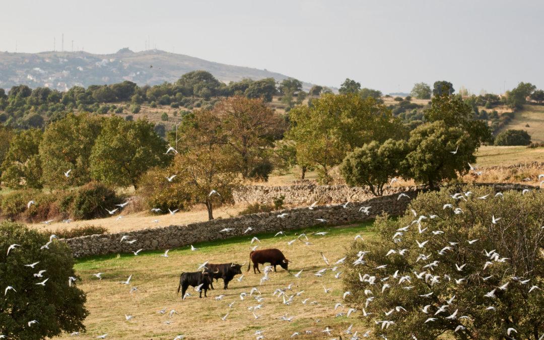 La crisis sanitaria COVID19 provocará unas pérdidas económicas que superan los 77 millones de euros en las ganaderías de bravo de la Unión de criadores de Toros de Lidia