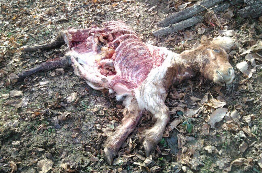 El Gobierno deja al ganadero y a la ganadería extensiva en las fauces del lobo